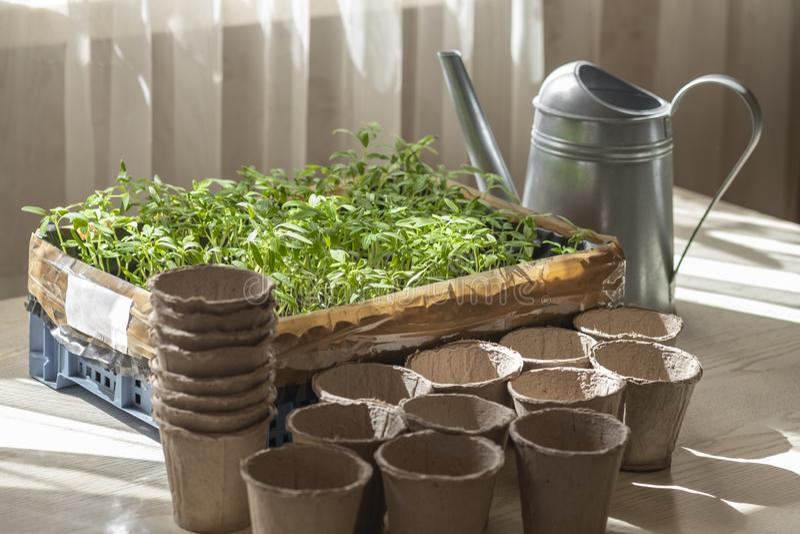 Préparation pour planter des jeunes plantes de tomate, une boîte avec des jeunes plantes, une tasse de tourbe et une boîte d'a photo stock