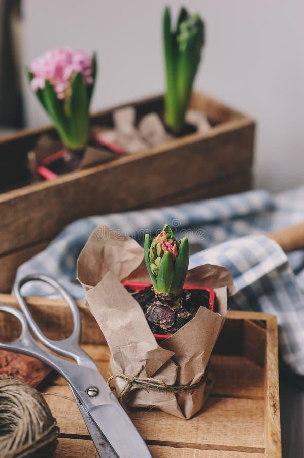 préparations de ressort à la maison Plantation des ampoules de fleurs de jacinthe Passe-temps de jardinage images libres de droits