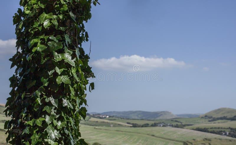 Prés dans Dorset - cieux bleus et arbres de lierre photos stock
