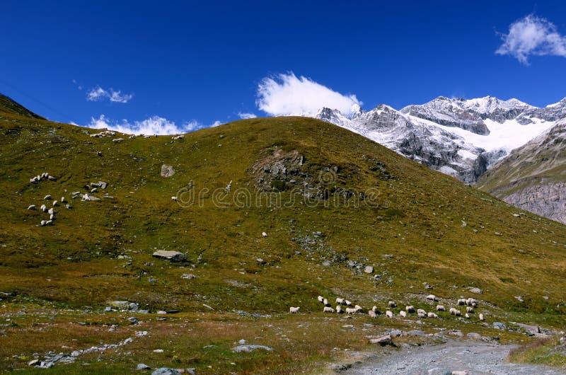 Prés de montagne avec un troupeau des moutons dans les Alpes suisses photos libres de droits