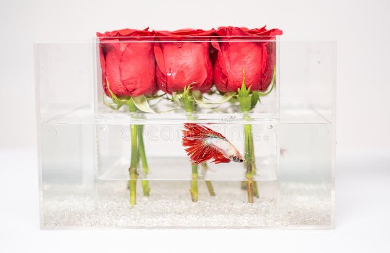 Présent du jour de Valentine Aquarium avec des poissons et des roses Système de fleur bouquet rose rouge dans la boîte Fond de co image stock