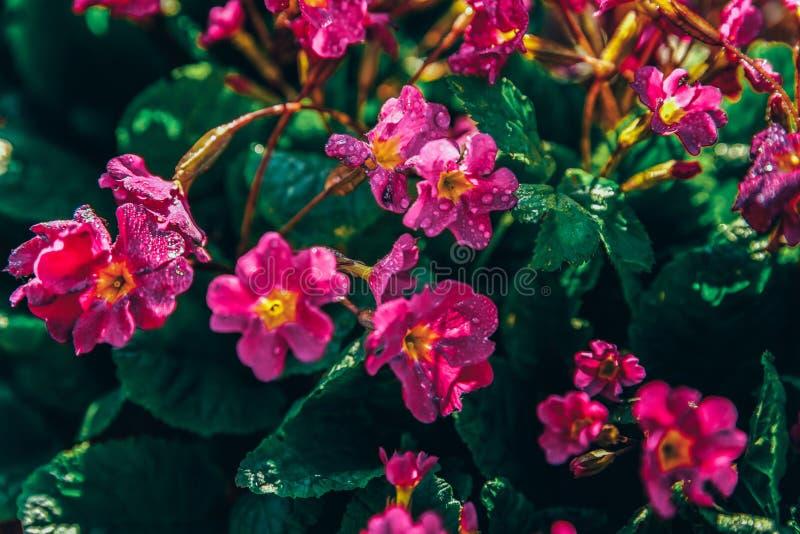 Prímula com flores cor-de-rosa Fundo de florescência mola ou do jardim ou do parque floral natural inspirado do verão foto de stock