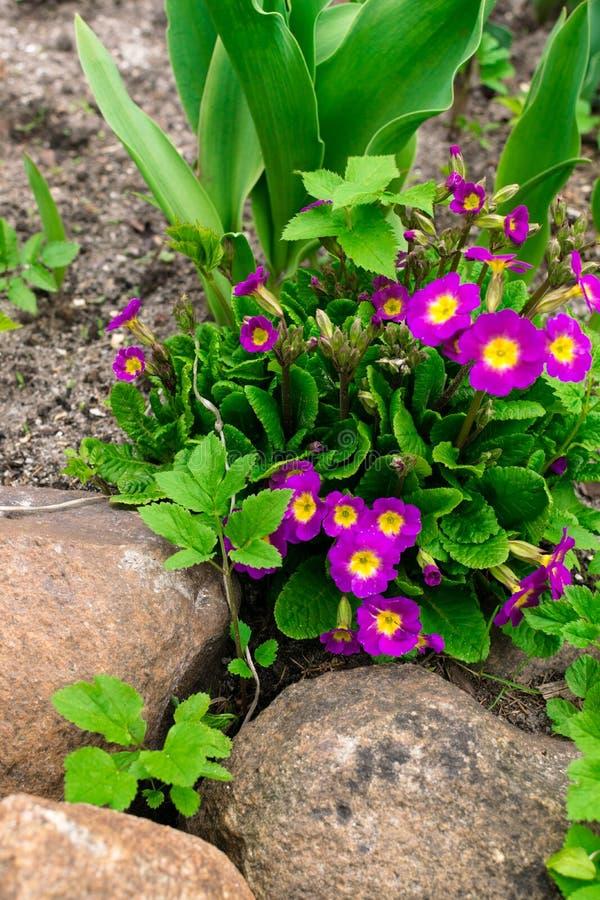 Prímula cor-de-rosa de florescência das prímulas da prímula vulgar Jardim constante cor-de-rosa brilhante da prímula ou da prímul fotografia de stock royalty free