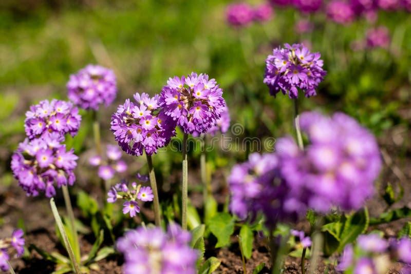 Prímula da prímula com flores violetas Mola floral natural inspirada ou jardim ou parque de florescência do verão sob o delicado imagem de stock royalty free
