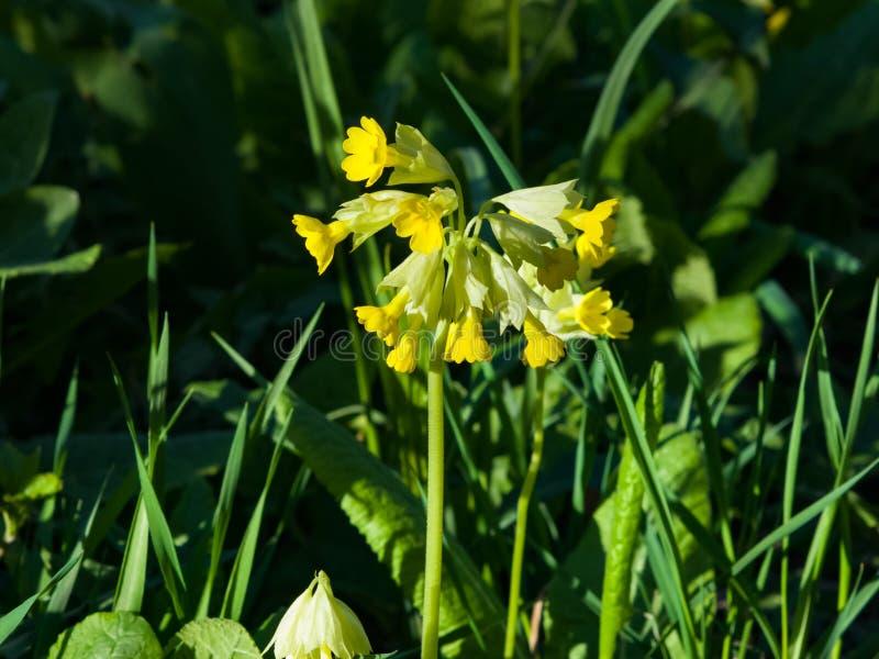 Prímula de la primavera o primer del flor de los veris de la prímula, foco selectivo, DOF bajo fotografía de archivo libre de regalías