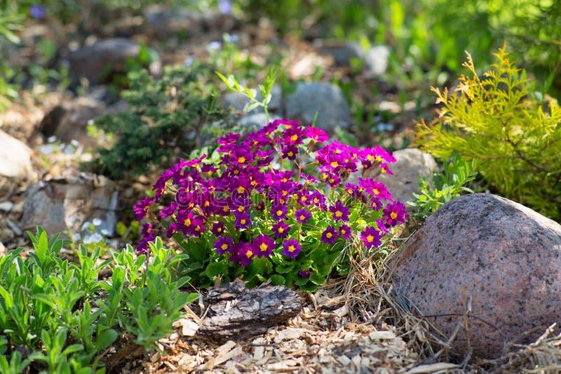 Prímula roxa no jardim ornamental imagens de stock royalty free