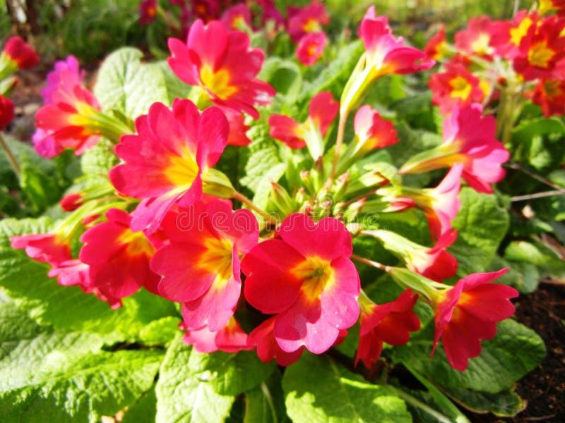 Prímula roxa vermelha selvagem foto de stock royalty free