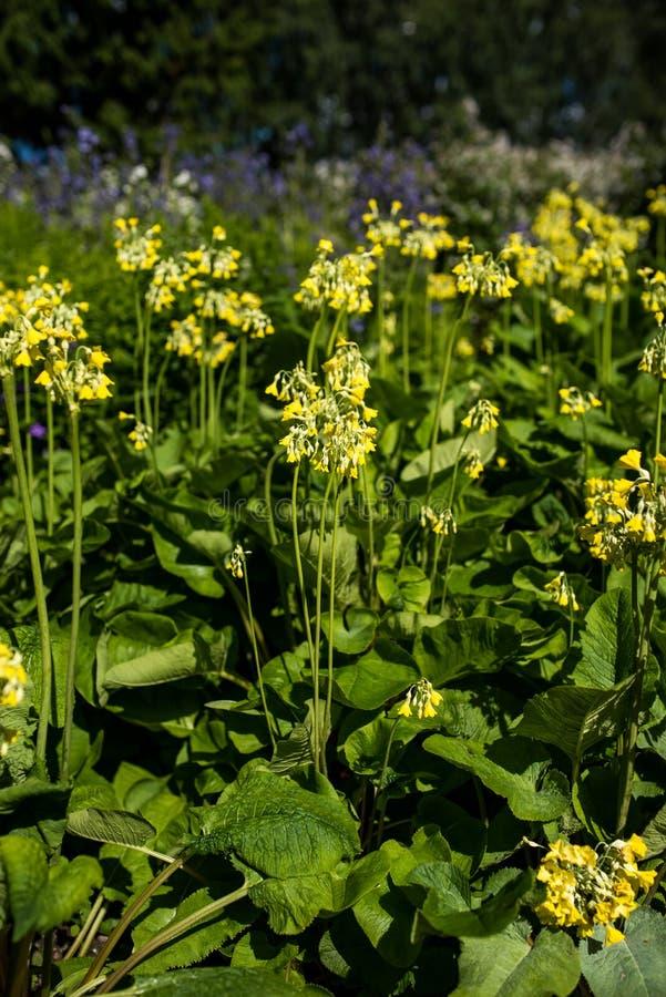 Prímula tibetana, plantas gigantes da prímula na flor imagem de stock