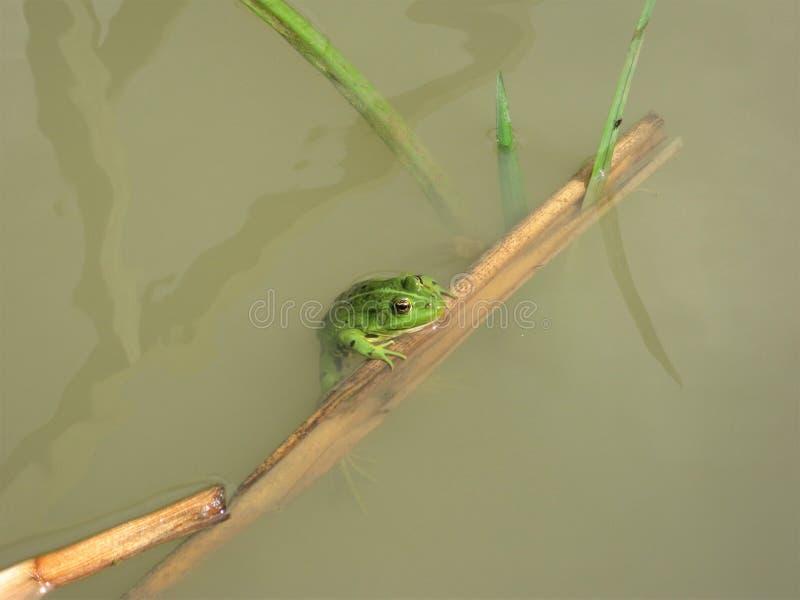 Príncipe de la rana en traje verde imágenes de archivo libres de regalías