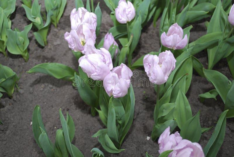 Príncipe Single Early Group del caramelo de los tulipanes crecido en macizo de flores fotografía de archivo libre de regalías