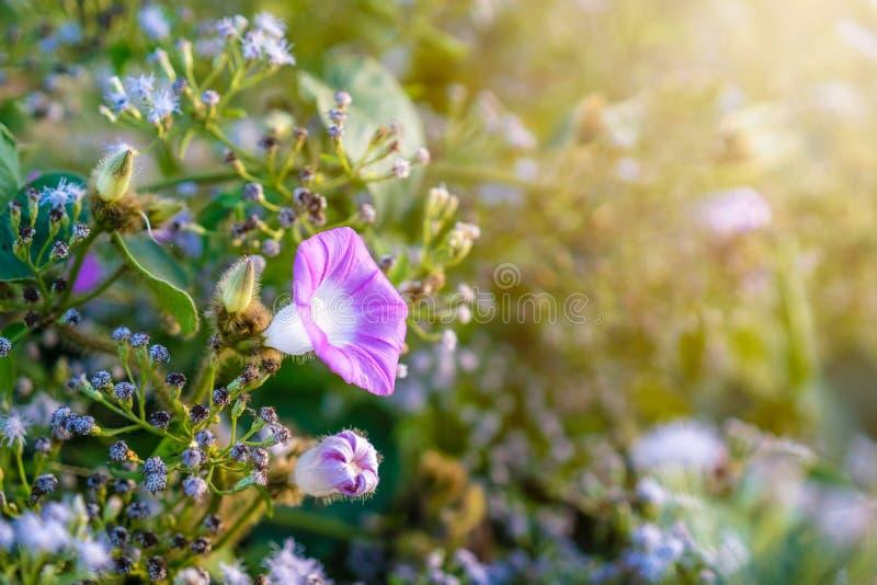 próximo acima da flor azulada roxa da corriola com luz solar na manhã fotos de stock