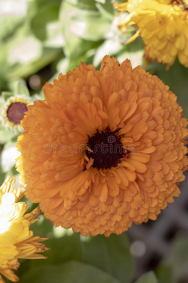 pr?ximo acima da flor inglesa do cravo-de-defunto fotografia de stock royalty free