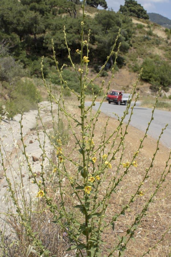 próximo acima da planta do blattaria do verbascum amarelo fotografia de stock