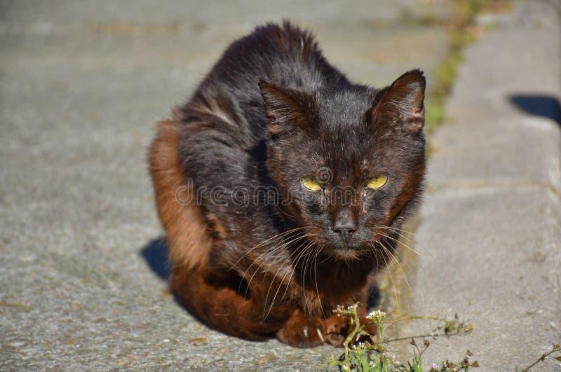 próximo acima de um retrato do gato marrom escuro desabrigado muito quieto no passeio em um dia ensolarado O gato abandonado tem  fotografia de stock