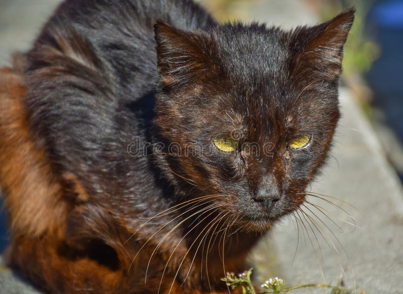 próximo acima de um retrato do gato marrom escuro desabrigado muito quieto no passeio em um dia ensolarado O gato abandonado tem  imagem de stock