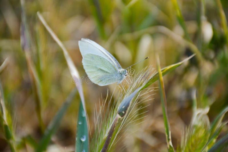 próximo acima de uma borboleta branca levantada pacificamente em uma erva verde em um dia ensolarado da mola em um fundo erval Im imagens de stock royalty free
