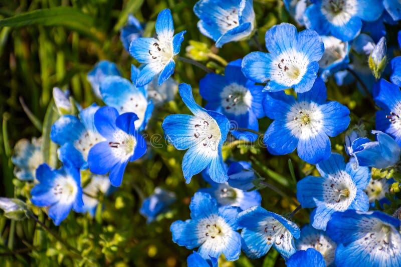 Próximo acima de wildflowers do menziesii de Nemophila dos olhos de azuis bebê, Califórnia foto de stock royalty free