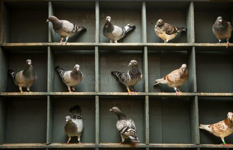 Prędkość bieżnego gołębia tyczenie w domowym loft zdjęcie royalty free
