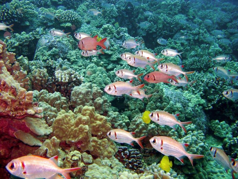 prętowy czerń ryba Hawaii kona rafy żołnierz obraz royalty free