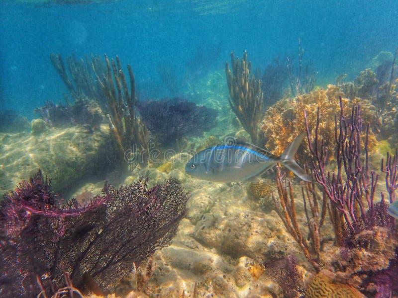 Prętowy Jack ryby dopłynięcie w oceanie obrazy royalty free