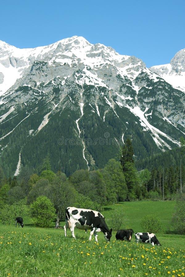 Pr? avec des vaches image libre de droits