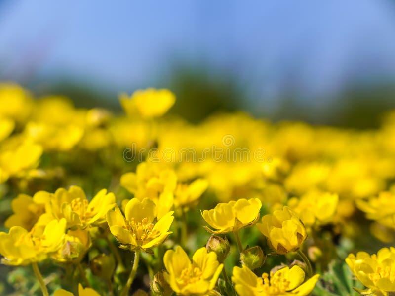 Pr? avec les wildflowers jaunes photos libres de droits