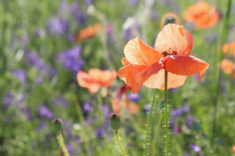 Pr? rouge de fleur de pavot Beau fond de nature image stock