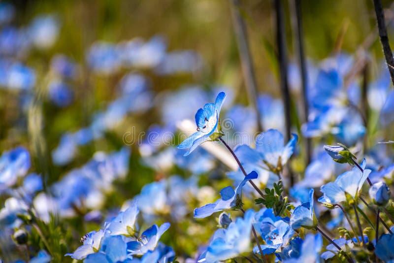Pr?ximo acima de wildflowers do menziesii de Nemophila dos olhos de azuis beb?, Calif?rnia fotografia de stock royalty free