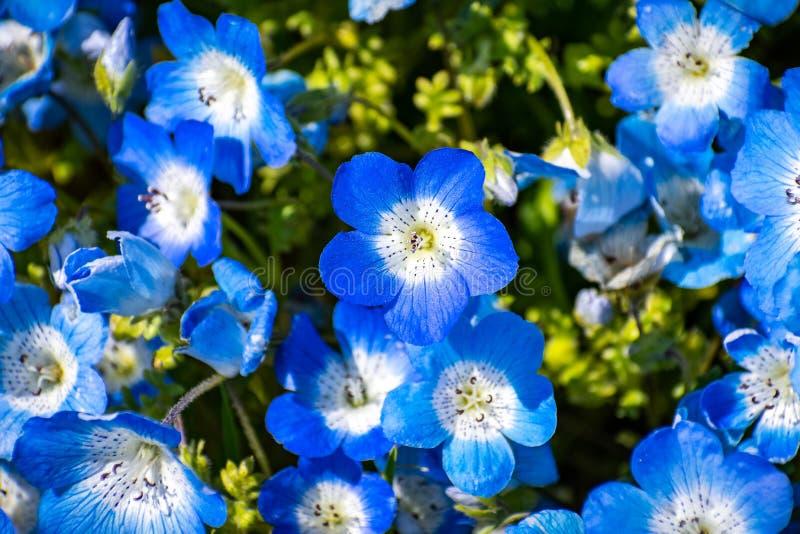 Pr?ximo acima de wildflowers do menziesii de Nemophila dos olhos de azuis beb?, Calif?rnia foto de stock