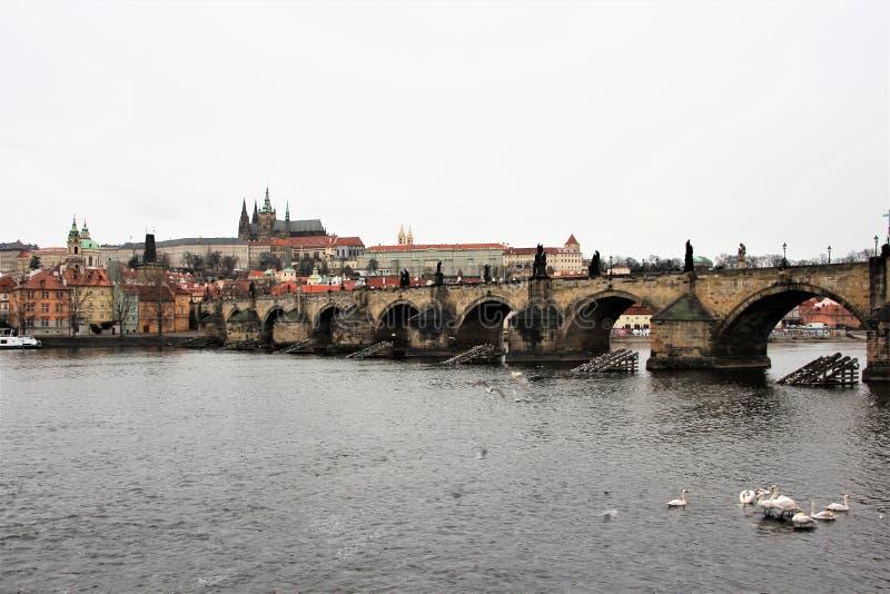 Praag, Tsjechische Republiek, Januari 2015 Zwanen op het water voor beroemd Charles Bridge royalty-vrije stock foto's