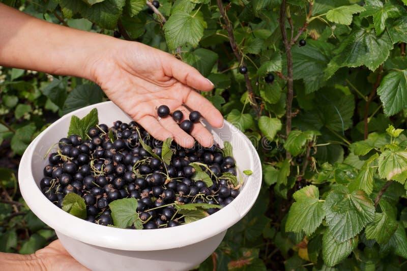 praca ogrodowa Zbieracki blackcurrant od krzaków zdjęcia stock