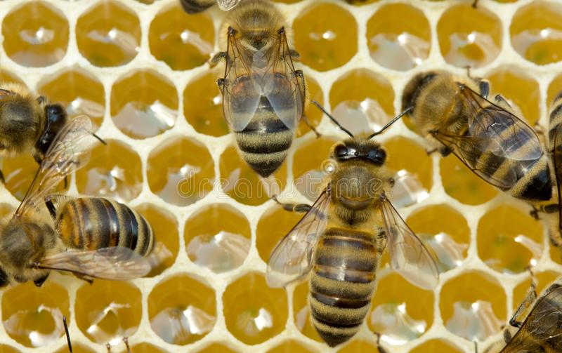 Praca pszczoły wśrodku roju Nawracają nektar w miód obrazy stock