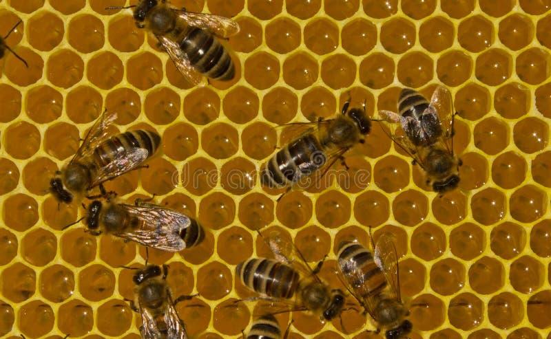 Praca pszczoły wśrodku roju Nawracają nektar w miód zdjęcie royalty free