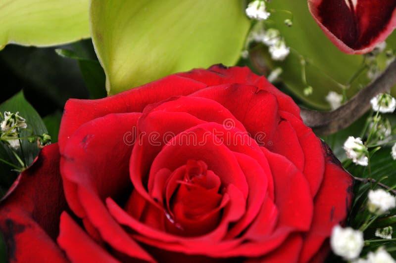 Pracht der roten Rosen seiner Schönheit und Frische stockfotografie
