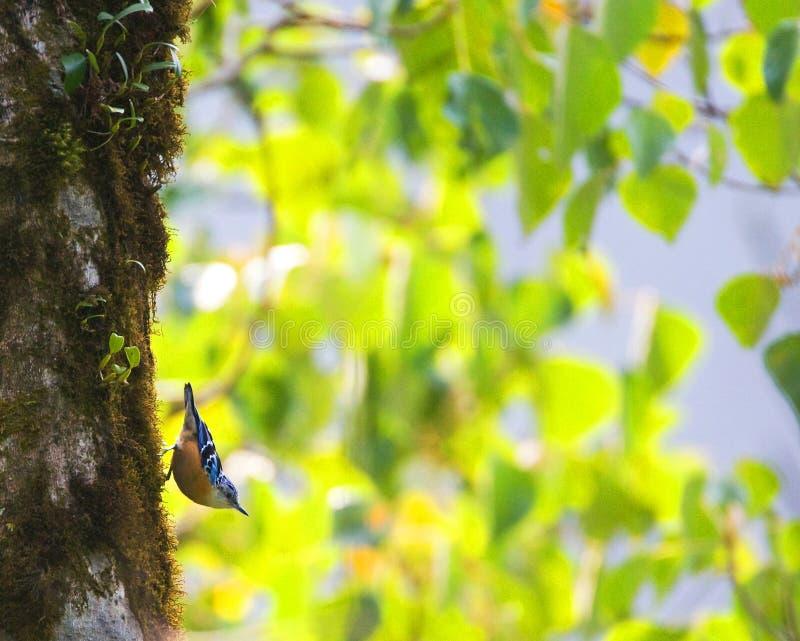 Prachtboomklever, bella sitta, Sitta Formosa fotografia stock libera da diritti