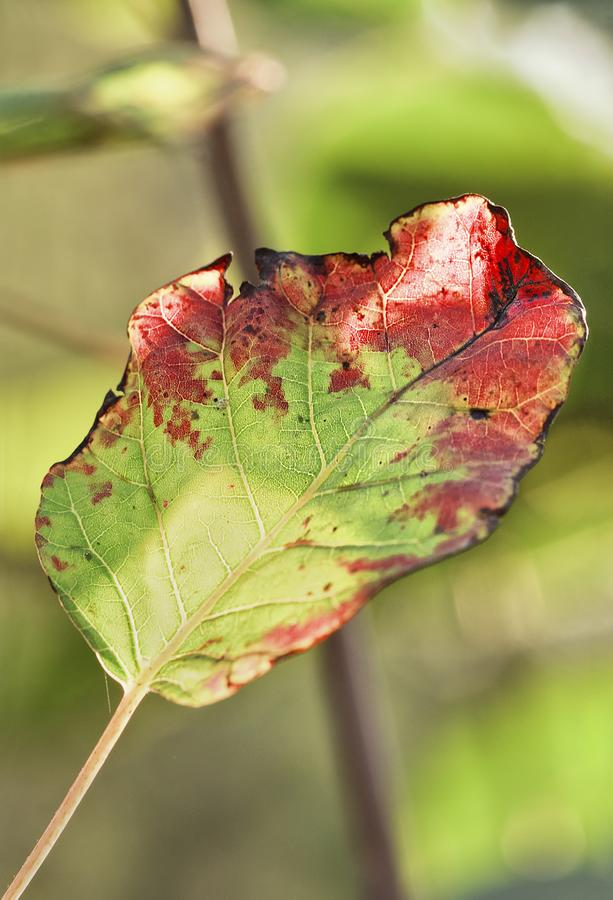 Prachtig aangestoken rot blad in de herfstkleuren in een bos stock fotografie