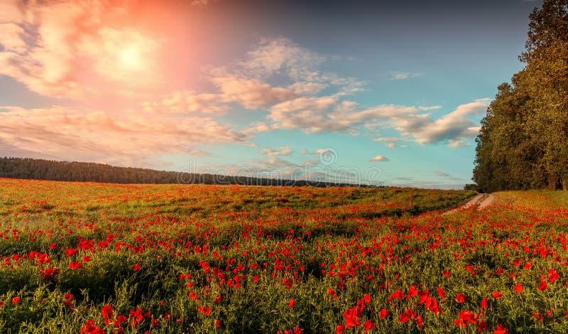 prachtig bloeiend gebied van papavers Majestueuze zonsondergang royalty-vrije stock foto's