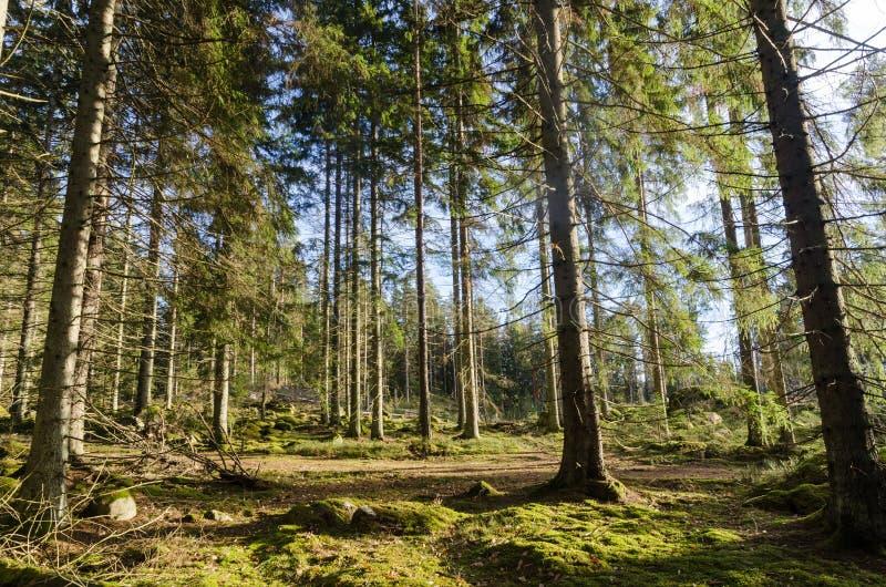 Prachtig groen bemost bos stock afbeelding