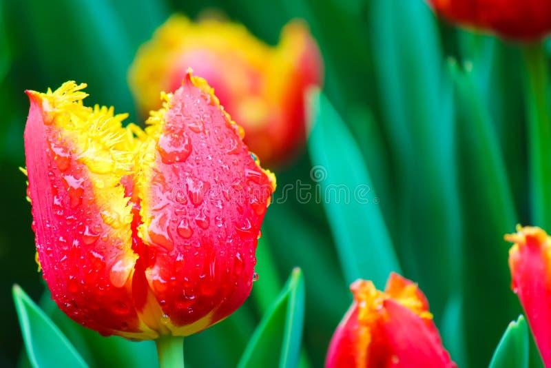 Prachtig macrobeeld van rode gele tulp met dalingen van ochtenddauw Vage groene achtergrond Nederlands symbool, de tulpen van Ned stock fotografie