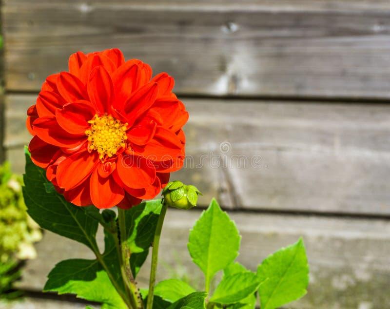 Prachtig reusachtige grote rode gekleurde bloem macro dichte omhooggaand met houten achtergrond stock foto