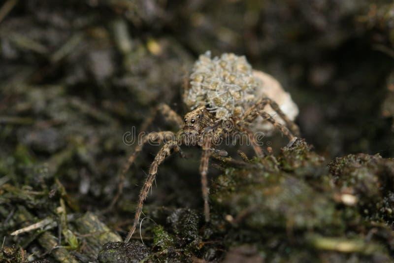 Prachtig Wolf Spider, Pardosa, die zijn babys op zijn rug vervoeren stock foto