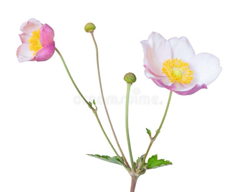 Prachtige Anemone Shrub Daisy Shrub geïsoleerd op witte achtergrond, met inbegrip van het knippen weg stock afbeeldingen