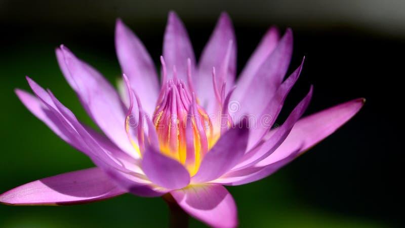 Prachtige bloesem purpere lotusbloem in zonlichtclose-up stock foto