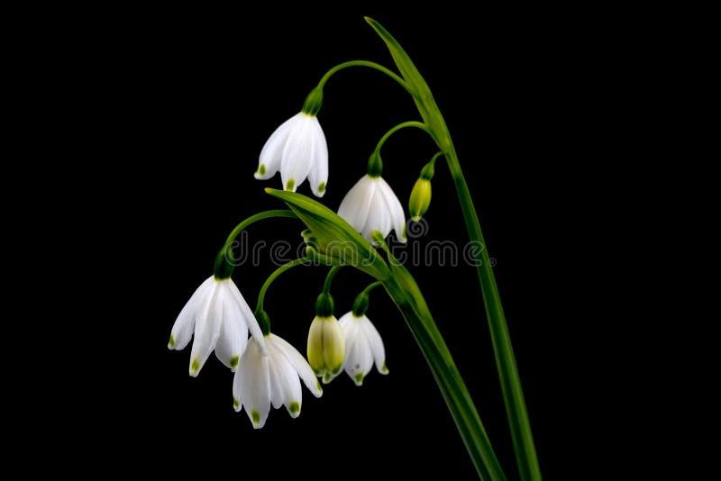 Prachtige de lentesneeuwvlokken royalty-vrije stock foto