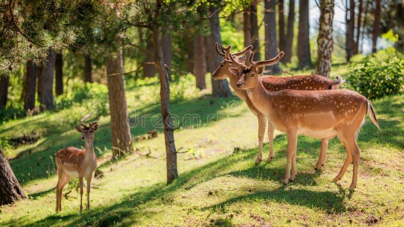 Prachtige deers in bos bij dageraad, Europa royalty-vrije stock foto's