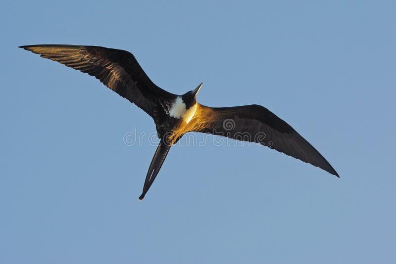 Prachtige frigatebird die in de eilanden van de Galapagos stijgen royalty-vrije stock foto's