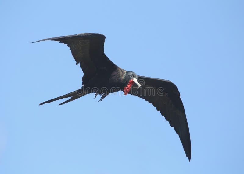 Prachtige Frigatebird tijdens de vlucht stock fotografie