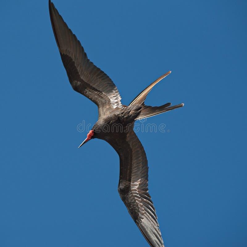 Prachtige frigatebirdFregata magnificens tijdens de vlucht op blauw stock foto