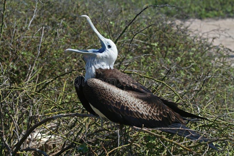 Prachtige frigatebirdjongelui, de Galapagos royalty-vrije stock fotografie