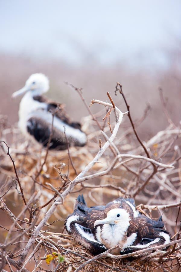 Prachtige frigatebirdkuikens stock foto's